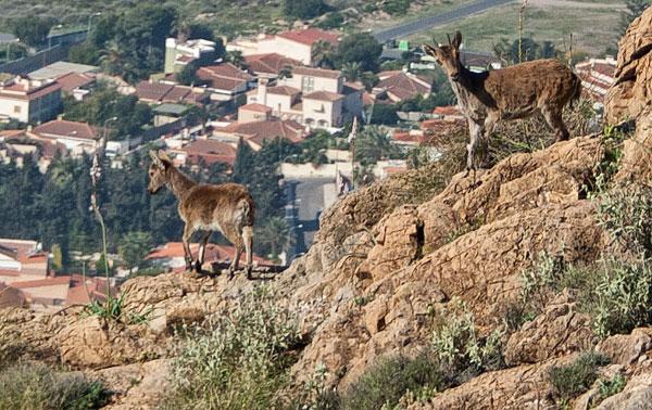 cabras montesas sobre Aguadulce