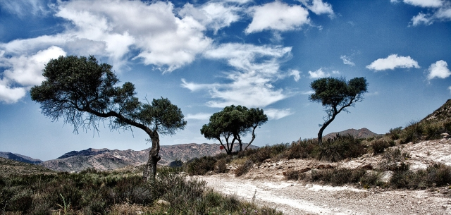Olivos en Cala Carnaje