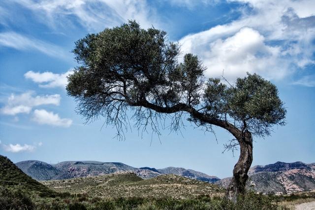 Olivo en Cala Carnaje
