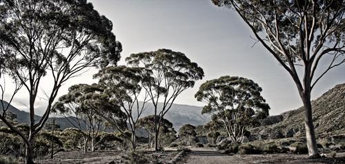 Bosque-de-eucaliptus