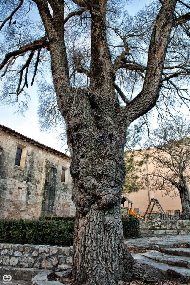 el-árbol-de-Beteta-tiene-cara