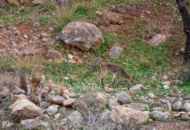 cabras-montesas