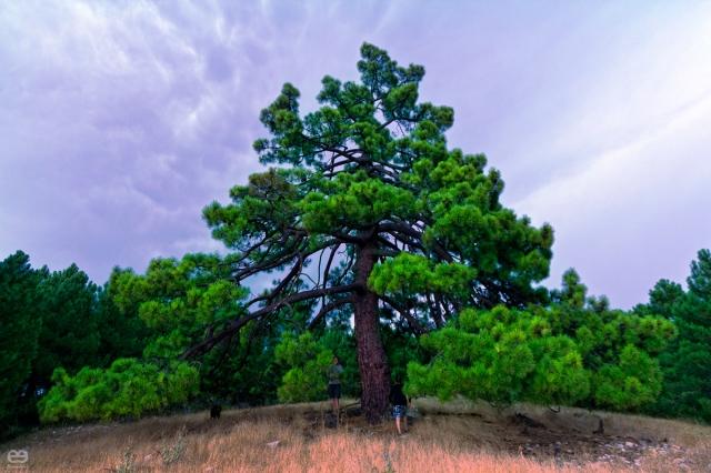 El pino sestero