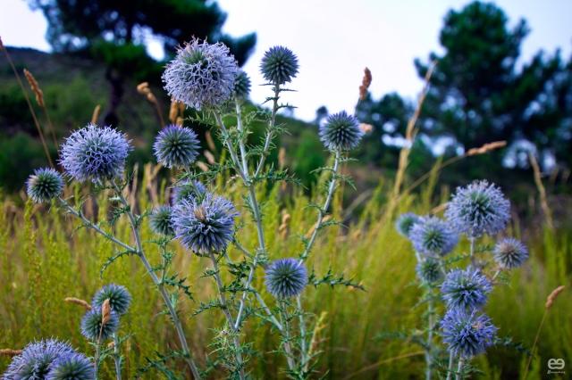 flor-de-verano